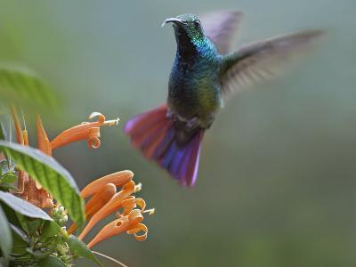 Green-Breasted Mango Hummingbird at Flame Vine, Costa Rica-Tim Fitzharris-Photographic Print