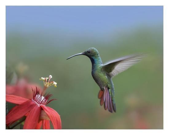 Green Breasted Mango Hummingbird Male Foraging Costa Rica Art Print Tim Fitzharris Art Com