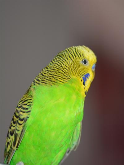 Green Budgie Bird Parrot-Wonderful Dream-Art Print