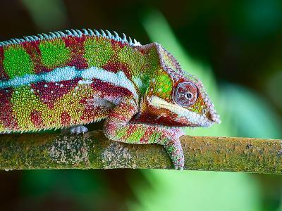 Green Chameleon on the Green Grass-Fedor Selivanov-Photographic Print