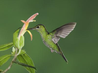 """Green-Crowned Brilliant Female in Flight Feeding on """"Snakeface"""" Flower, Central Valley, Costa Rica-Rolf Nussbaumer-Photographic Print"""