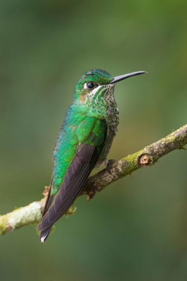 Green-Crowned Brilliant (Heliodoxa jacula), Savegre, Costa Rica--Photographic Print