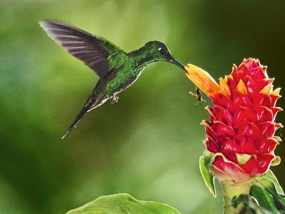 Green-Crowned Brilliant Hummingbird Feeding on Ginger Torch, Costa Rica-Frans Lanting-Photographic Print