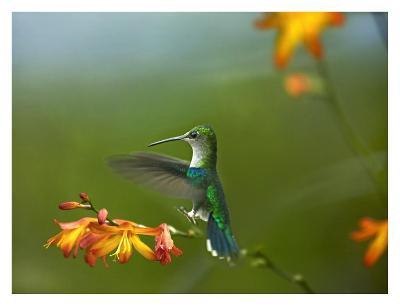 Green-crowned Woodnymph female landing, Ecuador-Tim Fitzharris-Art Print