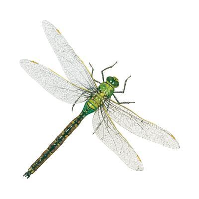 Green Darner - Female (Anax Junius), Dragonfly, Insects-Encyclopaedia Britannica-Art Print