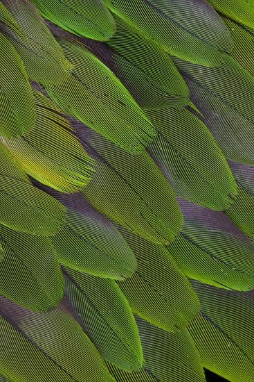 Green Feathers of the Caique Parrot-Darrell Gulin-Photographic Print