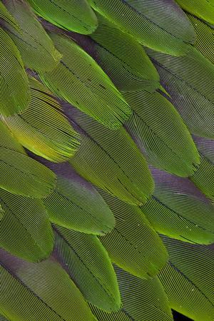 https://imgc.artprintimages.com/img/print/green-feathers-of-the-caique-parrot_u-l-q12t1ur0.jpg?p=0