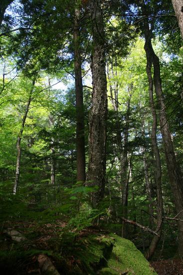 Green Forest Vertical-Robert Goldwitz-Photographic Print