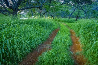 https://imgc.artprintimages.com/img/print/green-grasses-in-kiawe-forest-on-molokai-s-west-end_u-l-q12x0vz0.jpg?p=0