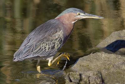 Green Heron Hunting-Hal Beral-Photographic Print