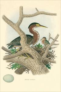 Green Heron Nest and Eggs