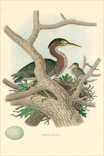 Green Heron Nest and Eggs--Art Print