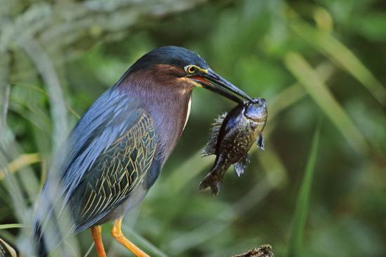 Green Heron with Fish, Florida, Usa-Tim Fitzharris-Photographic Print