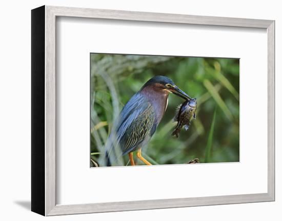 Green Heron with Fish, Florida, Usa-Tim Fitzharris-Framed Photographic Print