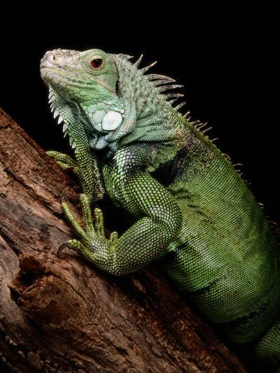 Green Iguana, Also Known as the Common Iguana-George Grall-Photographic Print