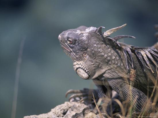 Green Iguana, Bonaire-Timothy O'Keefe-Photographic Print