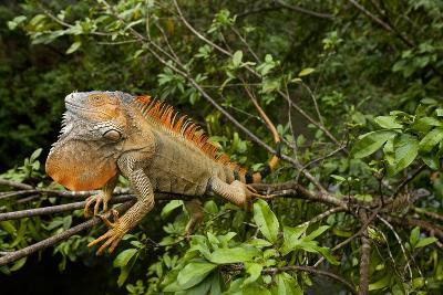 Green Iguana in a Tree in Costa Rica-Paul Souders-Photographic Print