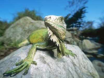 Green Iguana in Stream-Side Natural Habitat, Lambayeque Province, Peru-Mark Jones-Photographic Print