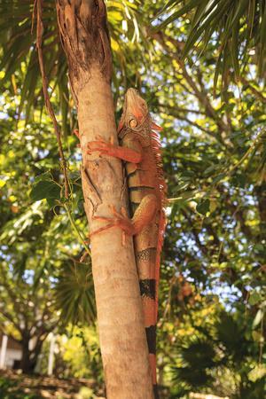 https://imgc.artprintimages.com/img/print/green-iguana-roatan-honduras_u-l-q1dhmr00.jpg?p=0