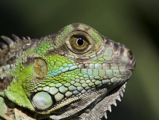 Green Iguana, San Iguacio, Belize-Jane Sweeney-Photographic Print