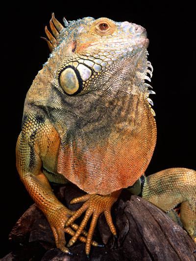 Green Iguana-David Northcott-Photographic Print