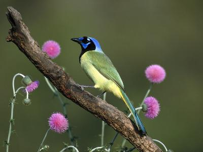 Green Jay (Cyanocorax Yncas) Perching, Rio Grande Valley, Texas-Tom Vezo/Minden Pictures-Photographic Print