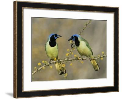 Green Jay Pair, Texas, USA-Rolf Nussbaumer-Framed Photographic Print