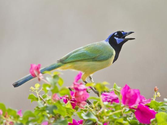 Green Jay Perched in Bougainvillea Flowers, Texas, USA-Larry Ditto-Photographic Print