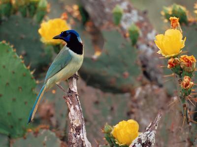 Green Jay, Texas, USA-Dee Ann Pederson-Photographic Print
