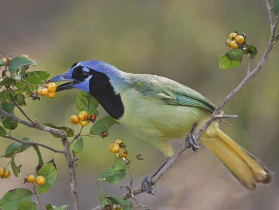 Green Jay, Texas, USA-Larry Ditto-Photographic Print