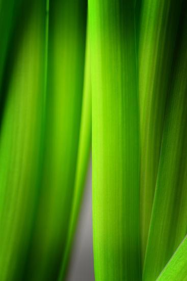Green Leaf Curtains-Philippe Sainte-Laudy-Photographic Print