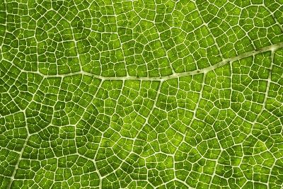 Green Leaf Texture-Cora Niele-Photographic Print
