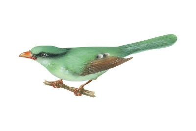 Green Magpie (Cissa Chinensis), Birds-Encyclopaedia Britannica-Art Print