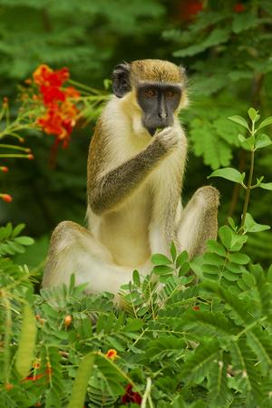 https://imgc.artprintimages.com/img/print/green-monkey-cercopithecus-aethiops-sabaeus-in-niokolo-koba-national-park_u-l-q11pzra0.jpg?p=0