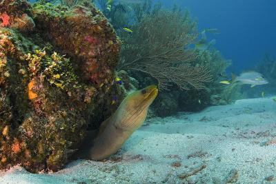 Green Moray, Hol Chan Marine Reserve, Ambergris Caye, Belize-Pete Oxford-Photographic Print