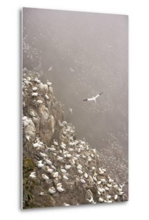 Northern Gannet (Morus Bassanus) Colony in Mist, Hermaness, Shetland Isles, Scotland, July 2009