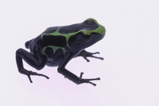 Green Poison Arrow Frog-DLILLC-Photographic Print