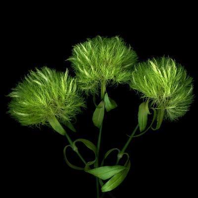 Green Pompons-Magda Indigo-Photographic Print