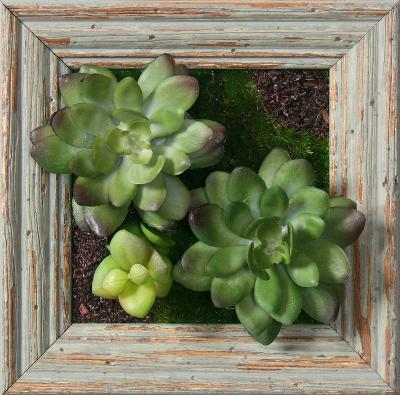 Green/Purple Echeveria Duo Square - Barnwood Sage--Dimensional Product