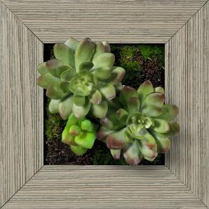 Green/Purple Echeveria Square - Farmhouse Gray
