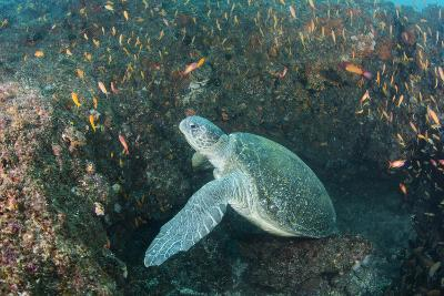 Green Sea Turtle, Aliwal Shoal, Umkomaas, KwaZulu-Natal, South Africa-Pete Oxford-Photographic Print