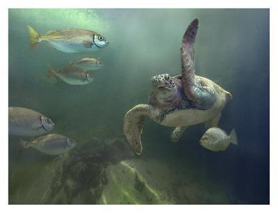 Green Sea Turtle and fish, Sabah, Malaysia-Tim Fitzharris-Art Print