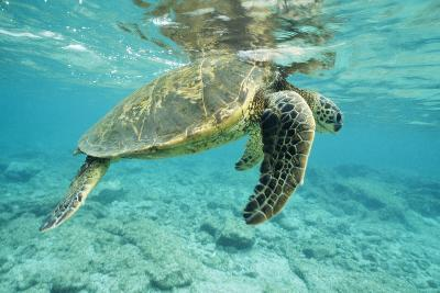 Green Sea Turtle at Water's Surface--Photographic Print