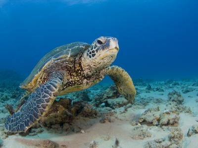 Green Sea Turtle (Chelonia Mydas), an Endangered Species, Hawaii, USA-David Fleetham-Photographic Print