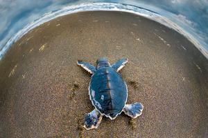 Green Sea Turtle (Chelonia Mydas) Hatchling, Tortuguero, Costa Rica