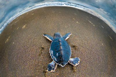 Green Sea Turtle (Chelonia Mydas) Hatchling, Tortuguero, Costa Rica--Photographic Print
