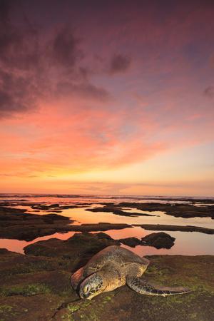 https://imgc.artprintimages.com/img/print/green-sea-turtle-chelonia-mydas-on-shore-at-sunset-near-kona-big-island-hawaii_u-l-q1gc36e0.jpg?p=0