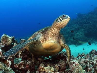 Green Sea Turtle, Chelonia Mydas, Resting on a Coral Reef Off Maui, Hawaii, USA-David Fleetham-Photographic Print