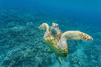 Green Sea Turtle (Chelonia Mydas) Underwater, Maui, Hawaii, United States of America, Pacific-Michael Nolan-Photographic Print
