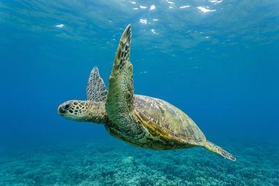 Green Sea Turtle (Chelonia Mydas) Underwater, Maui, Hawaii, United States of America, Pacific-Michael Nolan-Photographic Print